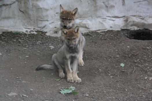 alpha pup